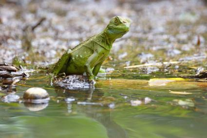 Green Basilisk Lizard near water