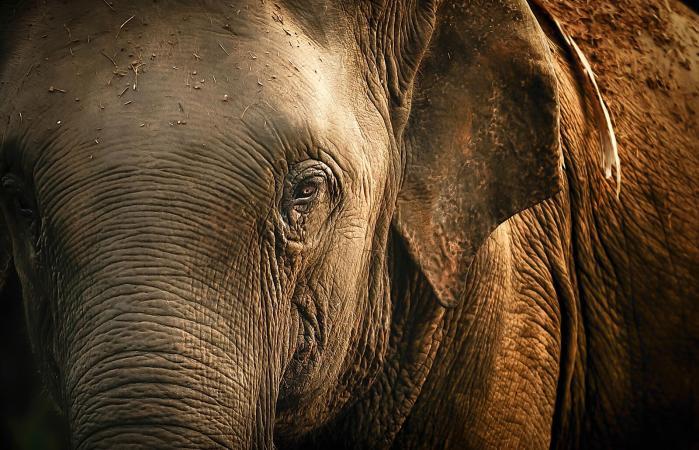 A bull elephant in Thailand