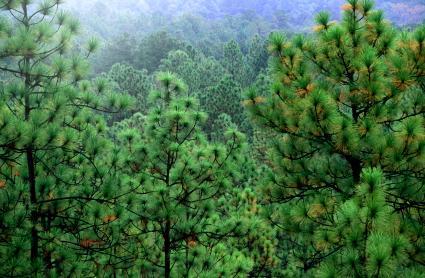 Longleaf Pine forest