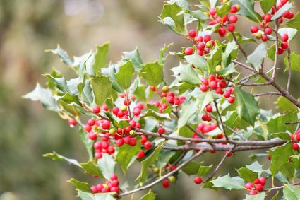 Holly berries and leaves on a American Holly Tree