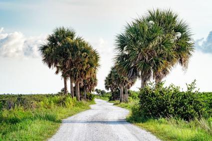 Sabal palmetto palms line a dirt road