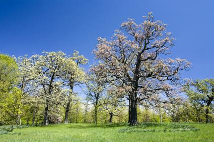 White Oak in Spring
