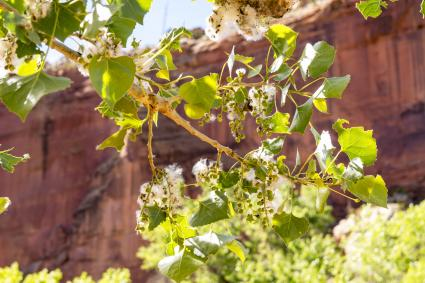 Cotton and Seeds from Cottonwood Tree Capitol Reef National Park