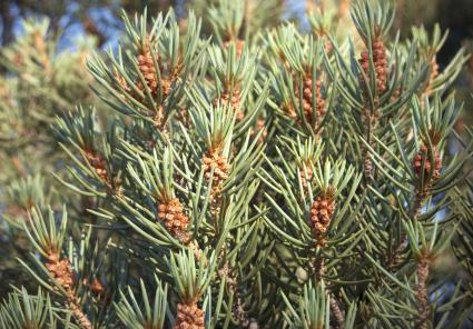 Single-leaf pine in Nevada