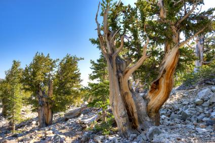 Bristlecone pines grow in the Great Basin National Park in Nevada
