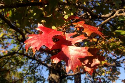 Quercus Rubra Tree with Red Leaves during Fall