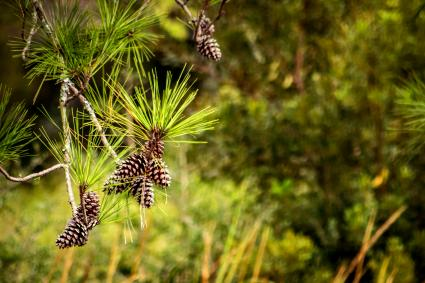 Pine cones hang from a tree near a salt marsh