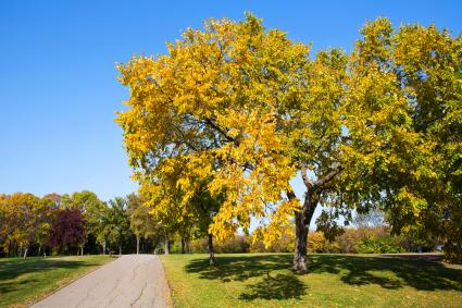 Scenic autumn trail in city park with American elm tree
