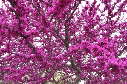 Blooming Redbud Tree in Oklahoma