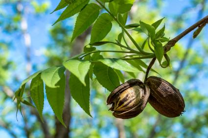 Pecan nuts from the previous season hanging among the new growth of Spring