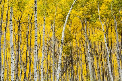 Aspen forest in fall color in Vail
