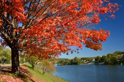 Sugar maple tree by Kanawha River in Charleston