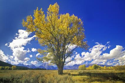 Cottonwood tree in fall colors, Grand Teton National Park,