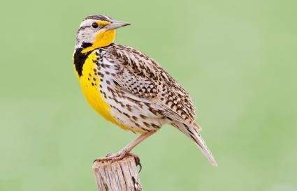 Kansas Western Meadowlark