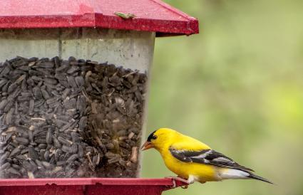 Iowa Eastern Goldfinch