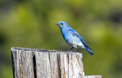 Idaho Mountain Bluebird