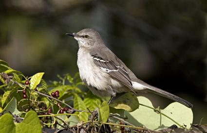 Florida Northern Mockingbird