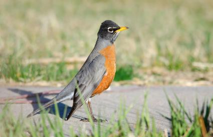 Connecticut American Robin