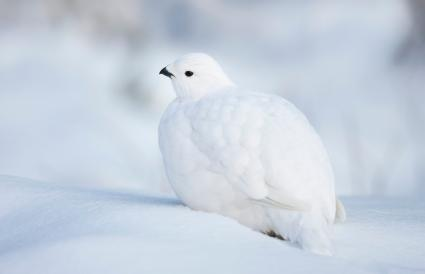 Alaska Willow Ptarmigan