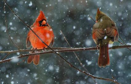 North Carolina Northern Cardinal
