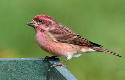 New Hampshire Purple Finch