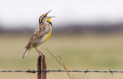 Nebraska Western Meadowlark