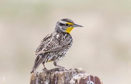 Montana Western Meadowlark