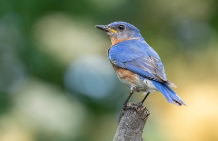 Missouri Eastern Bluebird