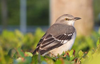 Mississippi Northern Mockingbird