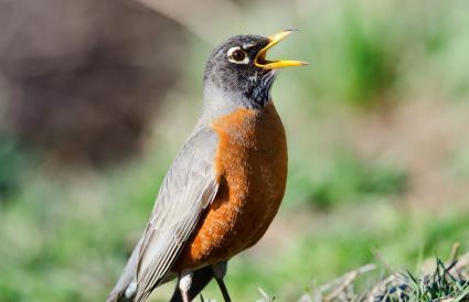 Michigan American Robin