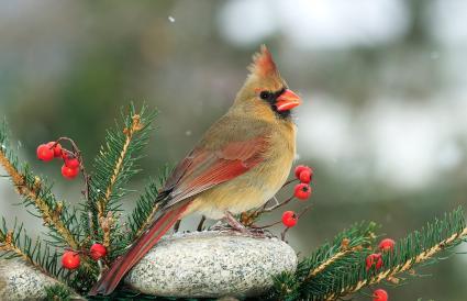 Kentucky Northern Cardinal