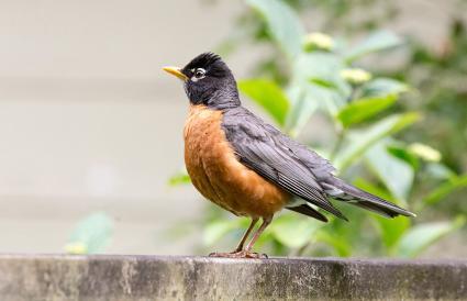 Wisconsin American Robin