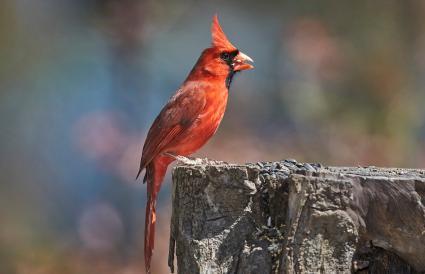 West Virginia Northern Cardinal