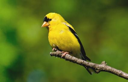 Washington American Goldfinch