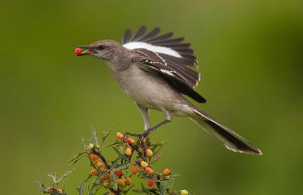 Texas Northern Mockingbird