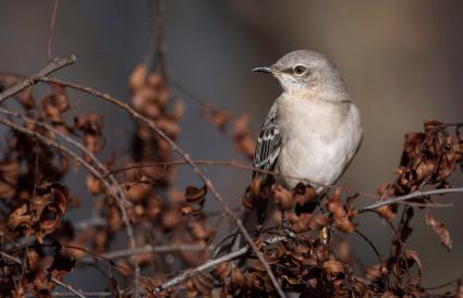 Tennessee Northern Mockingbird