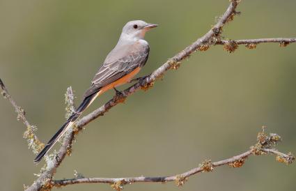 Oklahoma Scissor-tailed Flycatcher