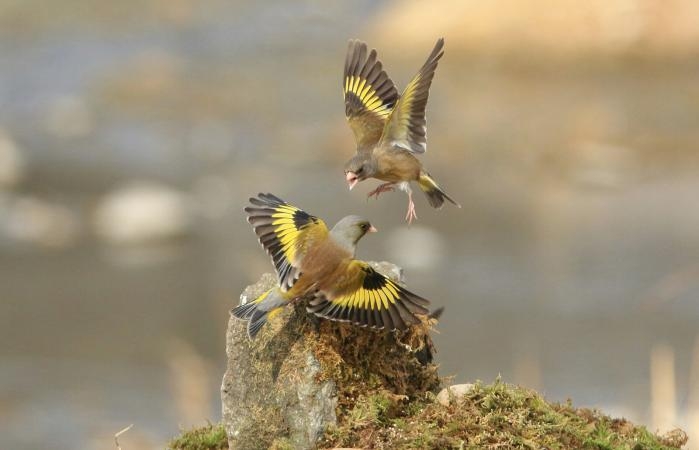Two Eastern Goldfinches