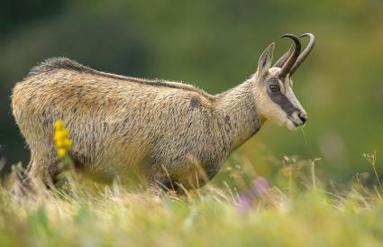 Chamois in a Tundra