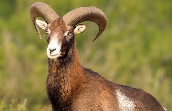 European Mouflon