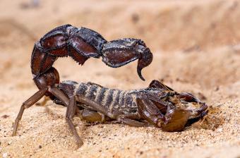 Arabian fat-tailed Scorpion