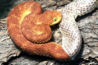 Snake shedding its skin