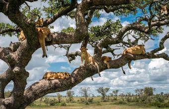 Lioness On Tree