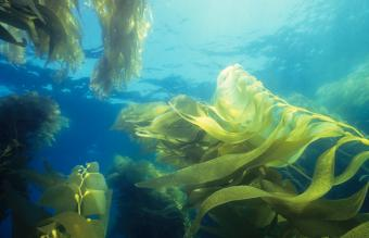 Giant Green Kelp Forest