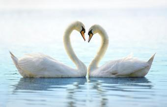 Two Romantic Swans