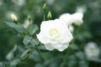 White Rosa Iceberg