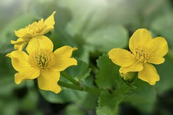 Buttercup-yellow flowers