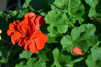 Red Geraniums Flower
