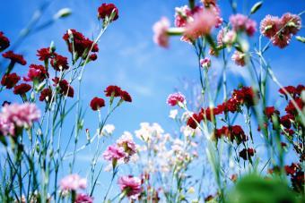 Carnations growing in field