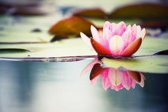 Pink water lily being reflected on clear water